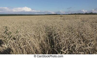 Wind swings ripe ears of wheat in the field in sunny day,