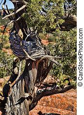 Wind Twisted Juniper Sculpture