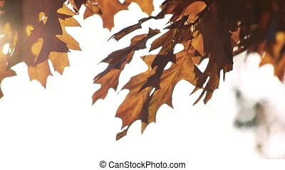 Windblowing oak leaves. White bright sky background.