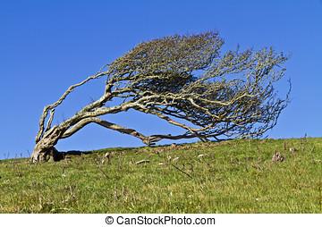 Windblown Hawthorn - Ancient lone hawthorn tree (Crataegus...