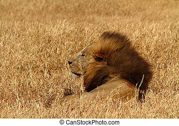 Windblown Lion