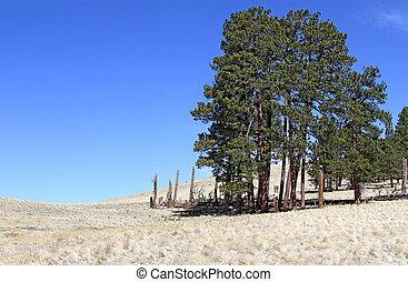 Windblown Ridge Ponderosa Pines
