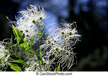 Windblown Seeds