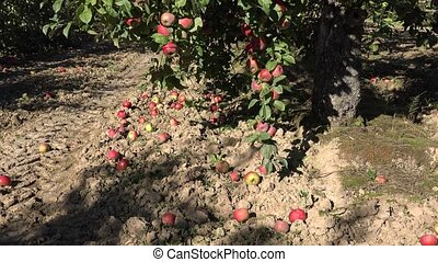 Windfall apples lie on soil and apple tree branches full of ripe red fruits. 4K