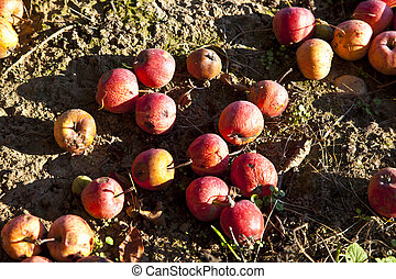 windfall fruits on the meadow