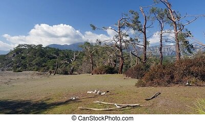 Windfall in forest. Storm damage. Phaselis park Turkey - ...
