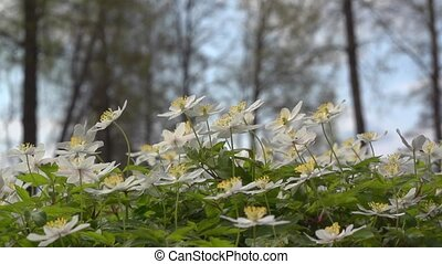 windflower - Anemone nemorosa