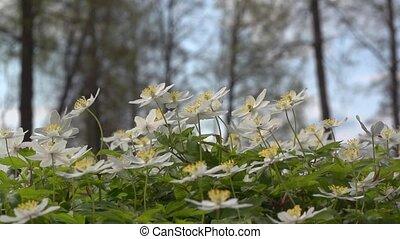 windflower - Anemone nemorosa