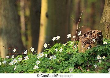 windflower, bosque, en, el, primavera