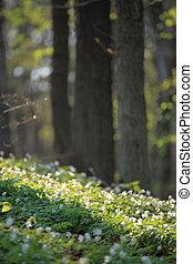 windflower, foresta, primavera