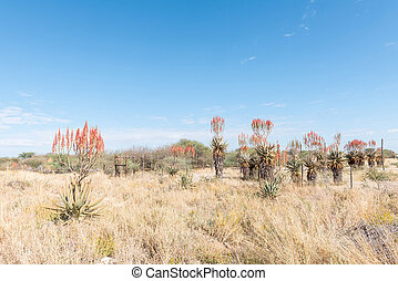 Windhoek or Mountain Aloes, Aloe littoralis, north of Otjiwarongo
