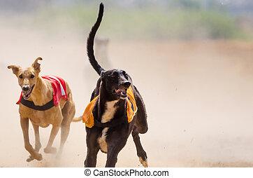 windhund, an, voll, geschwindigkeit, während, a, rennen