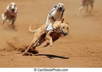 windhund, sprinten