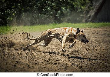 windhunde, an, voll, geschwindigkeit