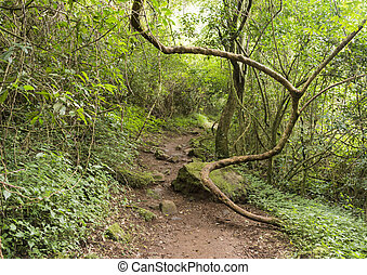 winding vine branch in tropical forest