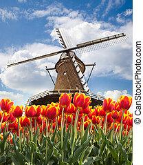 windmühle, mit, tulpen, netherlands