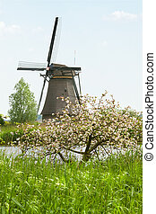 Windmill and appleblossom at Kinderdijk, the Netherlands