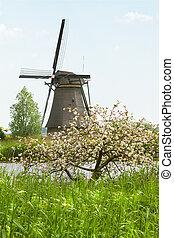 Windmill and appleblossom at Kinderdijk, the Netherlands