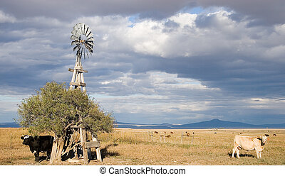 windmill and cattle - Cattle graze under an old wooden-frame...
