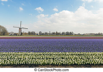 Windmill on a beacutiful hyacinth field blooming under a blue and sunny sky