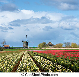 Windmill with tulip flower fields in the countryside