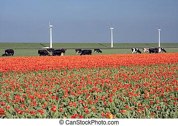 windmolen, tulpen, dijk, landscape:, hollandse, koien