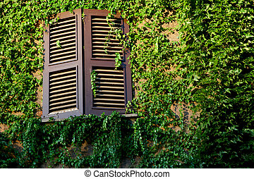 window and wall covered with green ivy