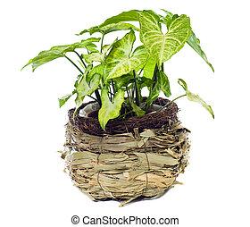 """Window plant """"Syngonium podophyllum Emerald Gem"""" isolated on white background."""