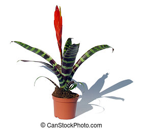 """Window plant """"vriesea splendens"""" (isolated on white, with path, with shadow)"""