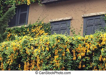 Windows and brick wall with ivy tree and flower