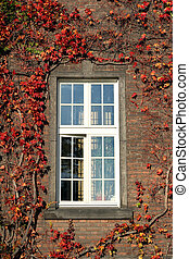 windows and brick wall with red ivy