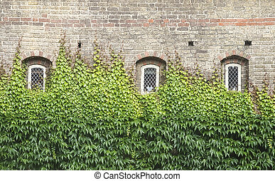 Windows with ivy