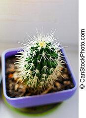 windowsill., pot, cactus, épineux, clair
