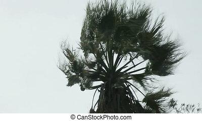 windstorm, palmier