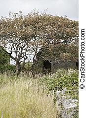 windswept, árbol, aran, inishmore;, islas