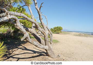 windswept, árvore