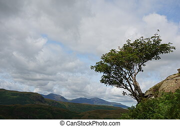 Windswept Rowan Tree - Windswept rowan (mountain ash) tree, ...