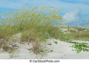 Windswept sea oats on Florida dunes - Sea oats blown by a...