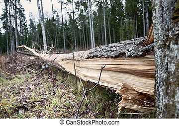 Forestry, bionomics. Windthrow and snag. Old reproductive aspens were left in this clearing, but some of them were felled by autumn windstorm. Later moose gnawed bark and branches