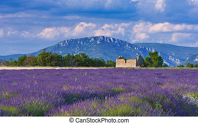 Landscape in Provence , France, with lavender field and an abandoned old barn during a windy afternoon