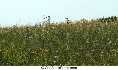 Windy green meadow in sunny summer day.