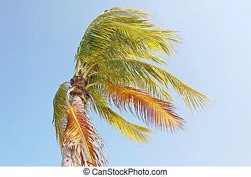 Coconut palm tree bending in a strong wind