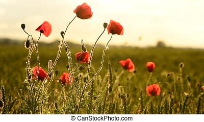 windy poppy field