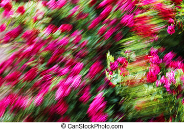 Windy Rose Blur