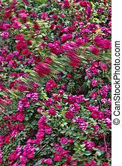 Windy Roses Blur