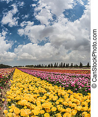 Windy spring day in the kibbutz. The picturesque field of...