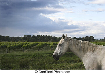 Wine and Whinney - A horse stands guard over a vineyard