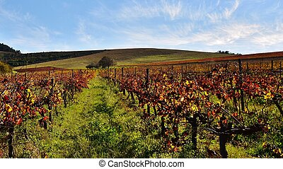 Wine Farm - Landscape with wine fields in autumn colors and...