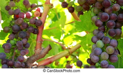 Wine grape framing shot - Napa valley California wine grape...