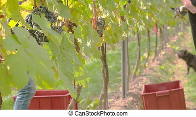 Wine Grape Harvest - Wine grape hanging from the tree, many...
